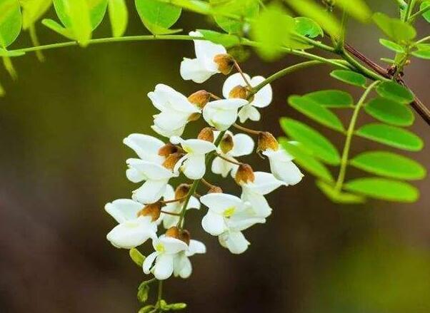 描写槐花的优美句子 赞美槐花的花香的句子