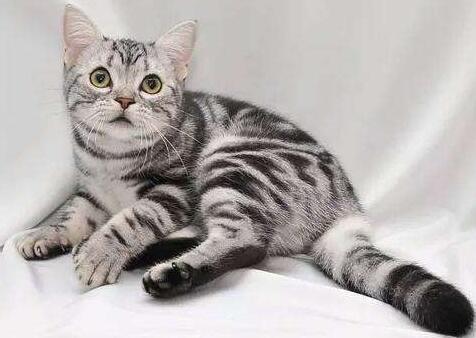关于猫的优美句子 描写猫的优美句子