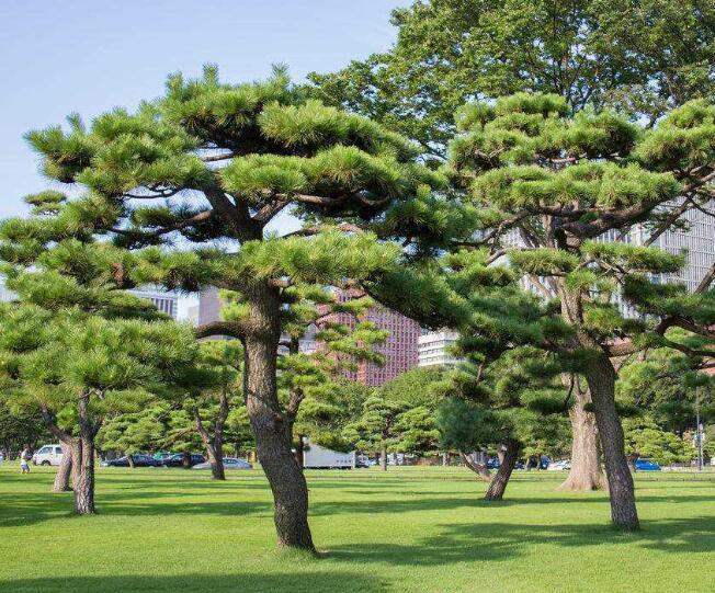 描写松树的诗句 关于松树的古诗大全