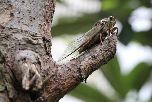 描写蝉的优美句子 描写夏天蝉叫的句子