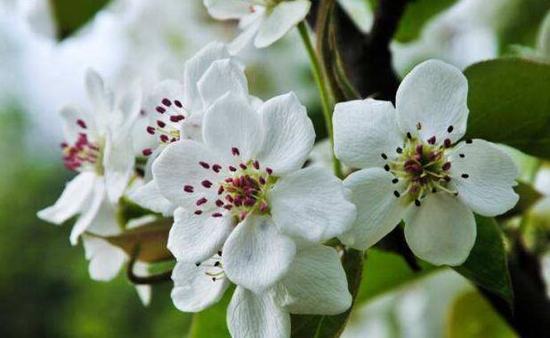 描写梨花的优美句子 关于梨花的唯美句子
