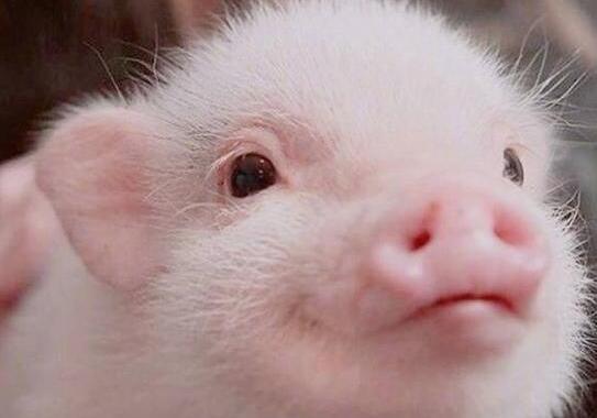 关于猪的搞笑句子 朋友圈关于猪的搞笑句子