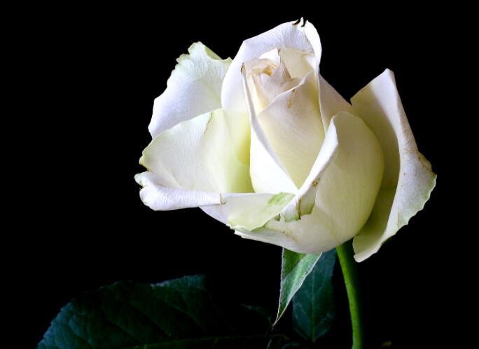 白玫瑰的优美的句子 描写白玫瑰的优美句子