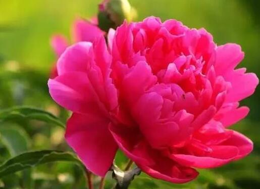 形容芍药花的句子描写芍药花开放的样子