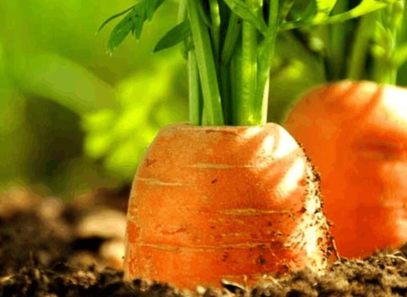 描写胡萝卜的优美句子 描写胡萝卜特点的句子