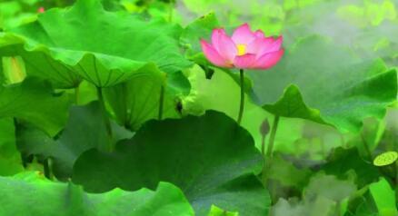 莲花古风句子 形容莲花的古风句子