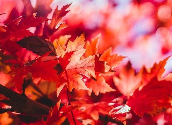 描写红枫叶的优美句子 描写枫叶的优美语段句子