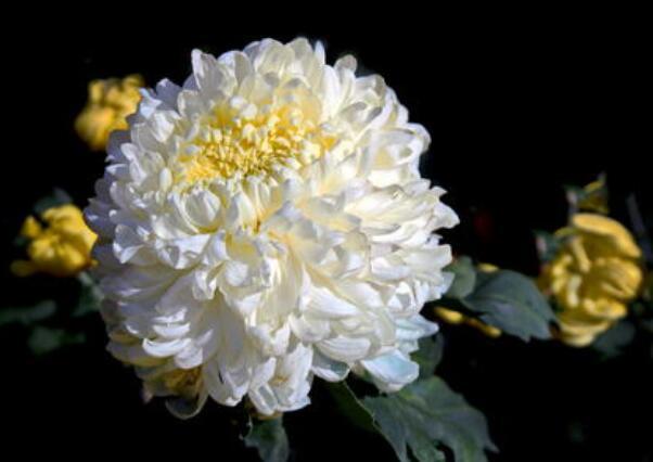 赞美菊的诗句 赞美菊花精神的诗句