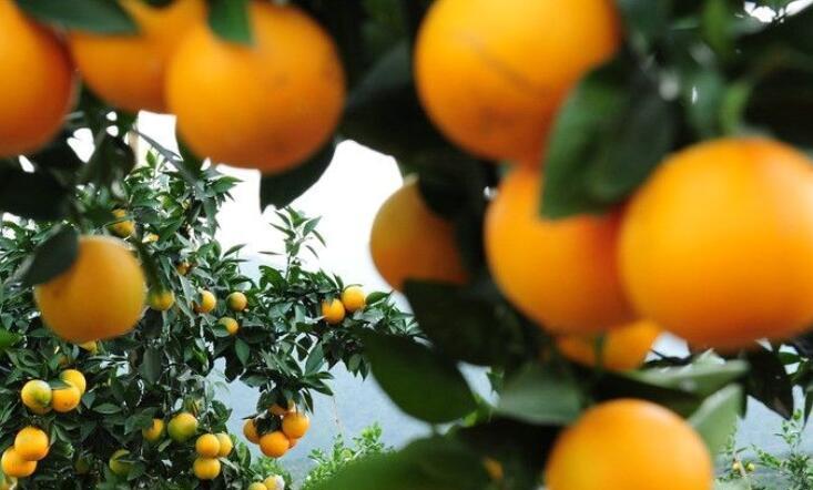 关于橙子的诗句