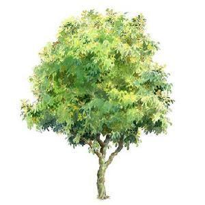 黄皮树诗句 找关于赞美黄皮的诗词,谢谢