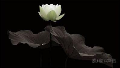 有禅意短句 莲花带着禅意的句子